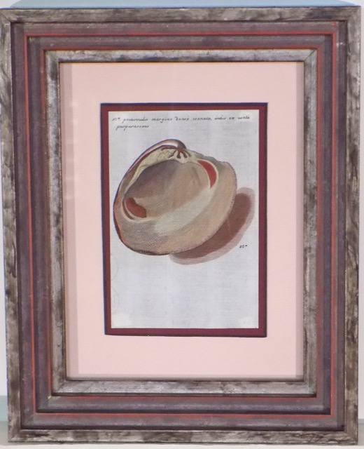 Clam Shell by Martin Lister, 1685 (Custom Framed)
