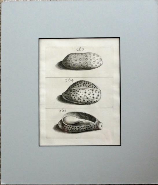Cowry Shell Varieties, C. 1680