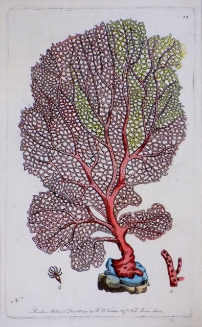 Sea Fan by Shaw & Nodder, 1789 (Custom Framed)