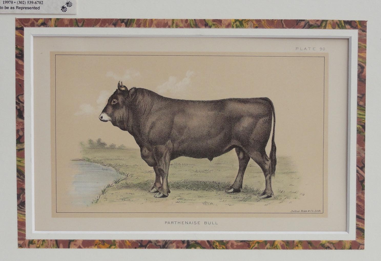 Parthenaise Bull