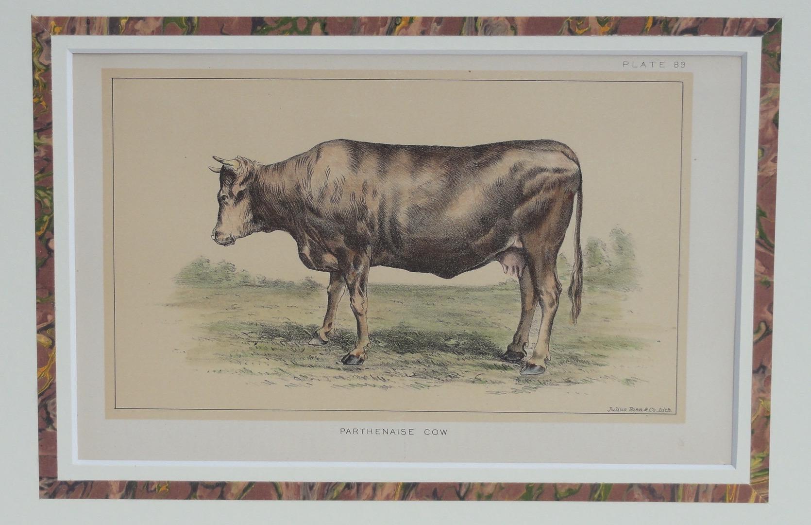 Parthenaise Cow