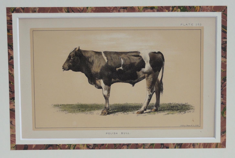 Polish Bull