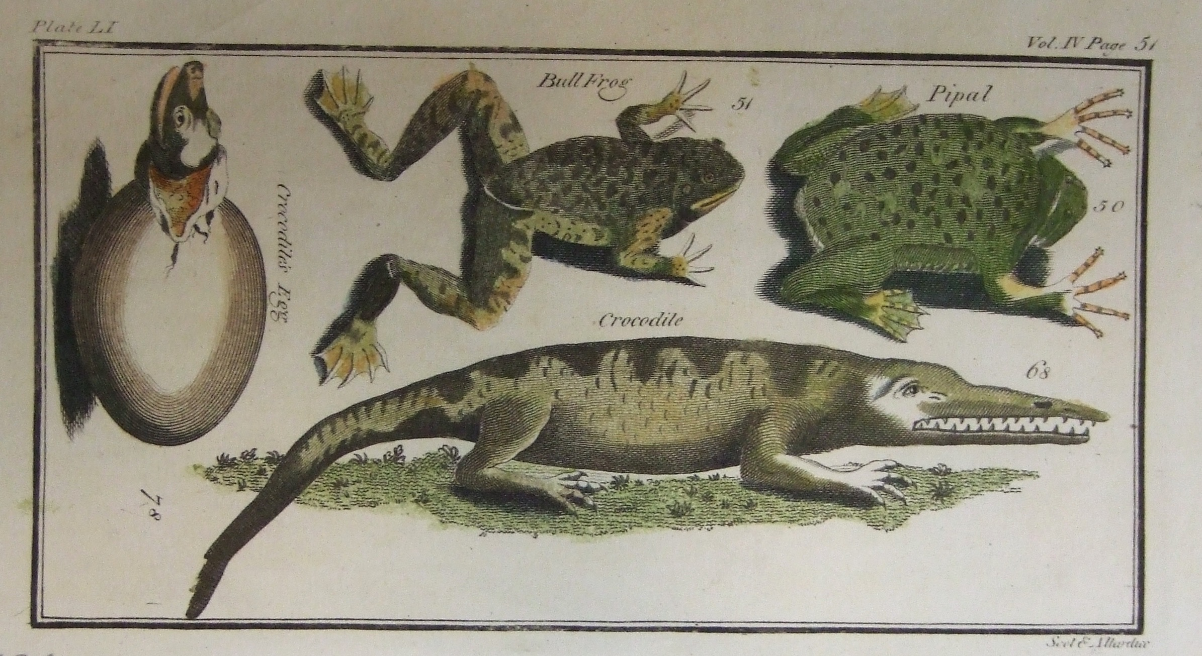 Pipal, Crocodile, Bull Frog, Crocodile Egg