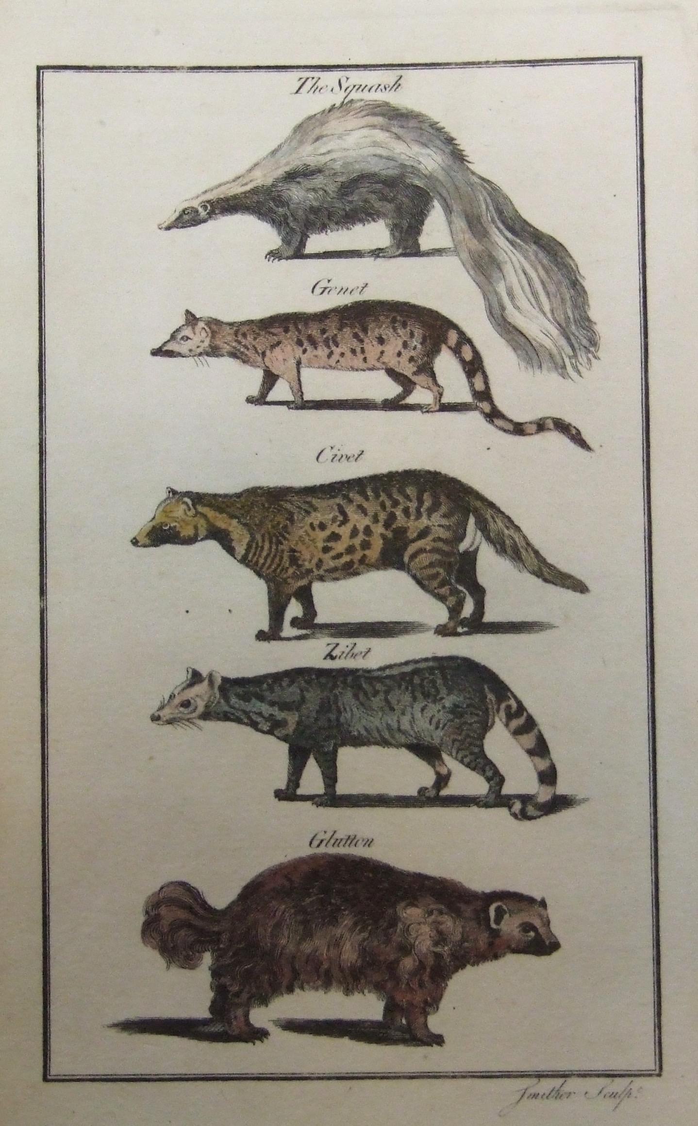 The Squash (Skunk), Genet, Civet, Zibet, Glutton