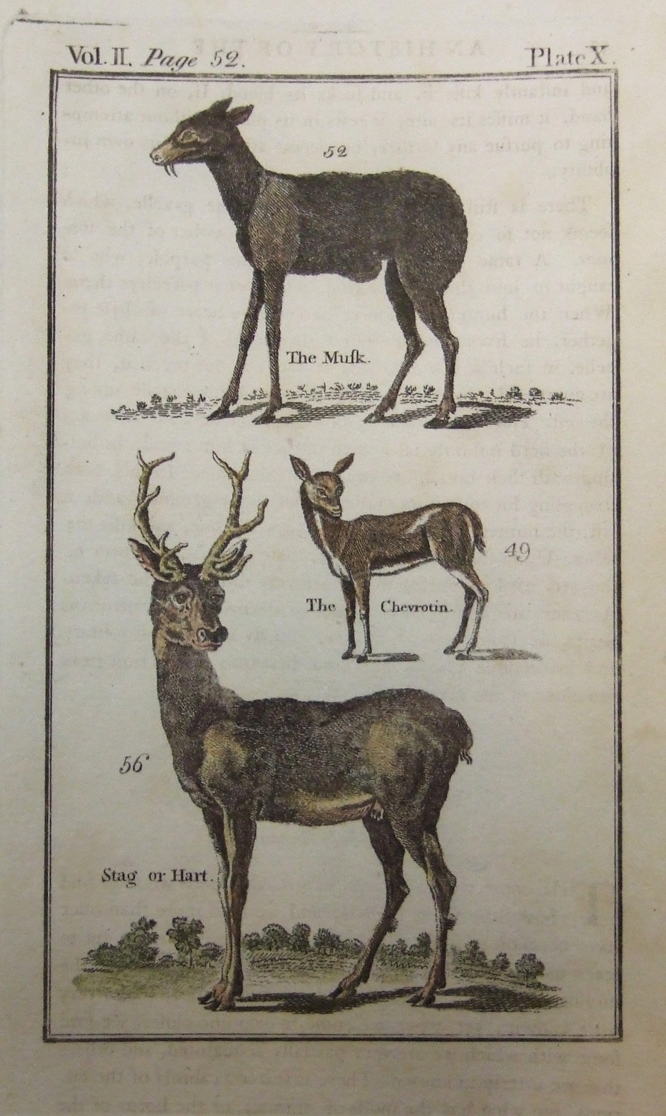The Musk, The Chevrotin, Stag or Hart