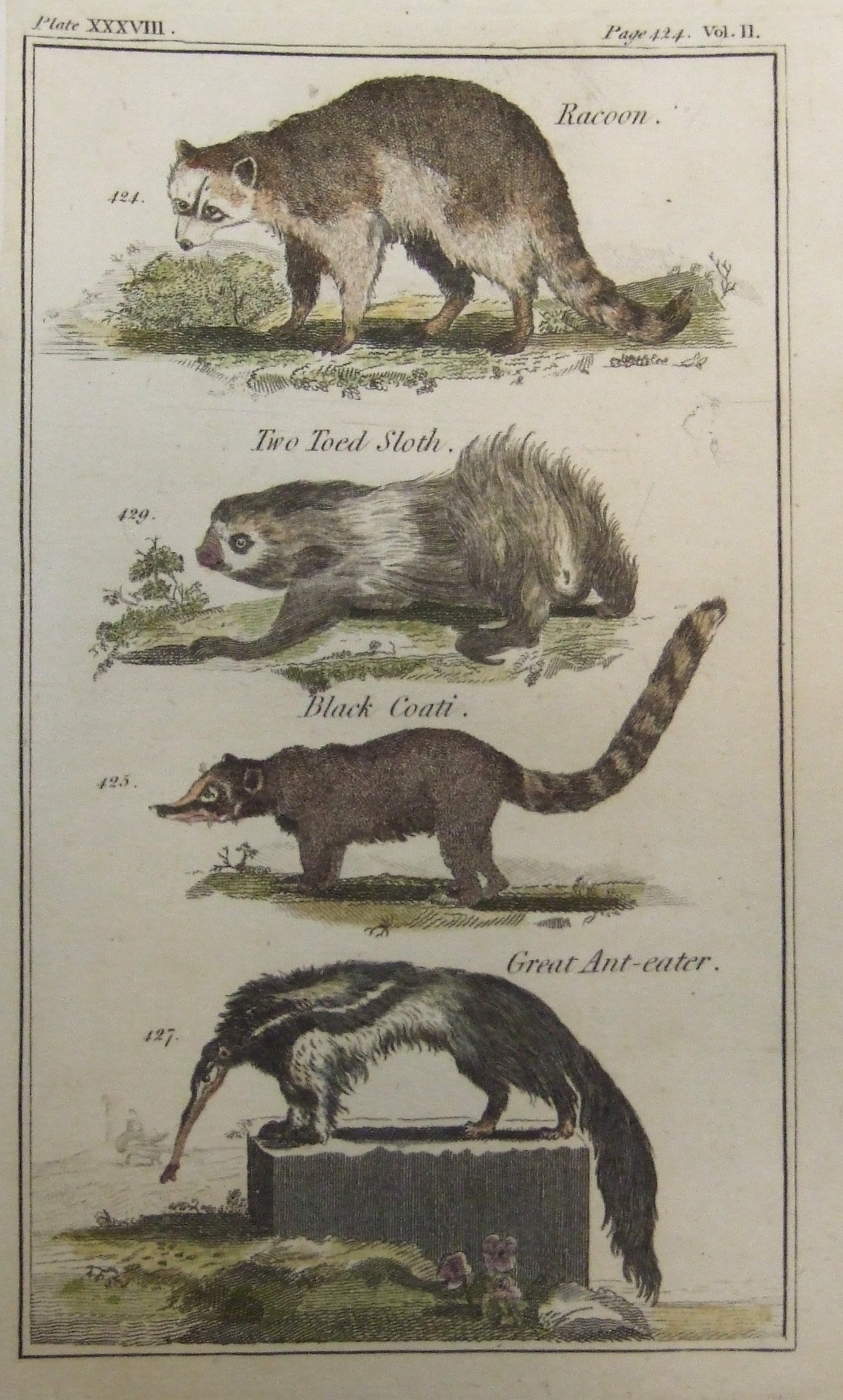 Racoon, Two Toed Sloth, Black Coati, Great Ant Eater